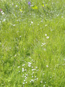 Wild flowers at ODG (5)